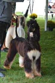 afghan hound national dog show news u2013 winterberry afghan hounds