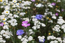 flowers uk where to see wildflowers in the uk grow