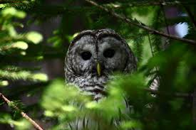 barred owl in tree wildlife free nature pictures by