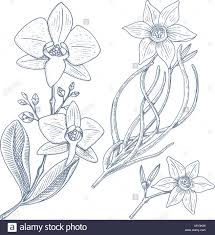 wedding flowers drawing daffodil and orchid with leaves and buds wedding flowers in the