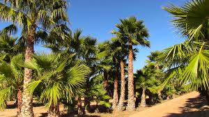 mexican fan palm growth rate moon valley nursery blog landscape tips