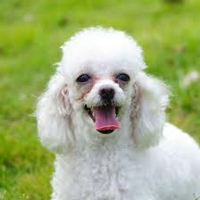 different styles of hair cuts for poodles haircuts for poodles