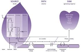chapter 5 phloem transport