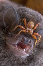 excuse me mr bat you u0027ve got a huge parasitic fly on your face