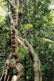 Plants In The Tropical Rain Forest - worldlywise how have plants adapted to the conditions in the