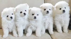 types of american eskimo dogs american eskimo dog toy miniature standard k9 research lab