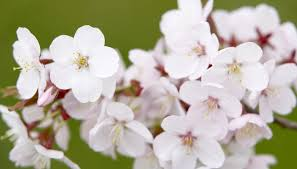 Cherry Blossom Decoration Ideas Office Decoration Ideas For Spring Bizfluent