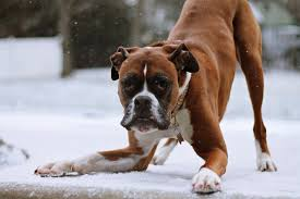 boxer quiz how well do you know about boxer dogs