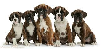 boxer dog 2015 hq 2048x1536px resolution friday 01st may 2015 boxer dogs 422319