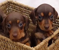 Halloween Costumes Miniature Dachshunds Chocolate Tan Miniature Dachshund Puppies Nelson Lancashire