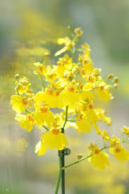 best 25 oncidium orchid ideas on pinterest orchid plants for
