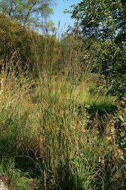 how to grow big bluestem grass coronado