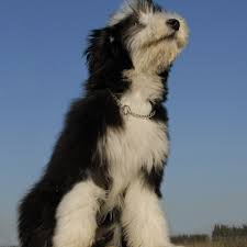 bearded collie adoption bearded collie puppies for sale