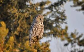 barred owl on top of a pine tree wallpaper animal wallpapers