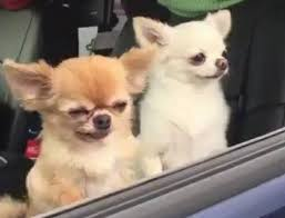 Tired Dog Meme - a video of a tiny dog falling over has become an extremely relatable