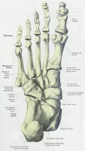 Calcaneus Anatomy Anatomy Of Calcaneus Bone Human Anatomy Bones Of The Foot And