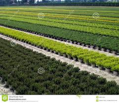 plantation of ornamental shrubs and trees stock photo image