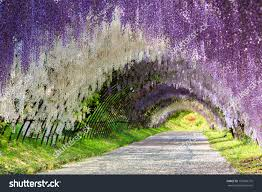 great wisteria flower arch stock photo 159996770 shutterstock