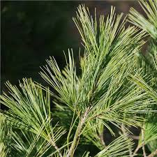 white pine tree buy affordable eastern white pine trees at our online nursery