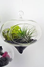 53 best air plant collection images on pinterest air plants