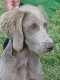 affenpinscher long hair weimaraner and weimaraner longhair janedogs