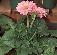 gerbera plant air purification with house plants gerbera