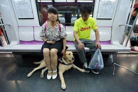 How Does A Guide Dog Help A Blind Person Theft Of Guide Dog Underlines China U0027s Spotty Disability Record