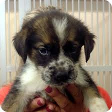 australian shepherd english bulldog mix shep adopted puppy greencastle nc border collie australian