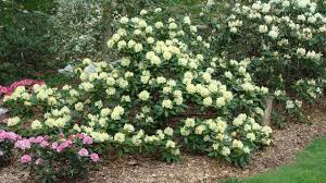 about pruning ornamental trees and shrubs