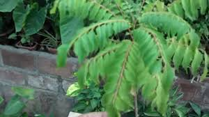 curry tree herb murraya koenigii how to grow curry leaves plant from seed curry patta plant urdu