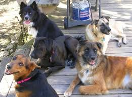 belgian malinois jet black survival and dogs