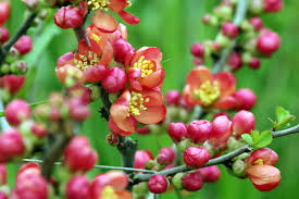 free images tree nature blossom fruit berry flower bush