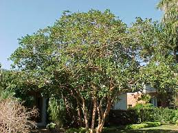 tropical trees and sub tropical trees list pictures and articles