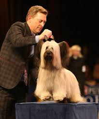Dog Show Thanksgiving Day Best 25 Dog Show Winner Ideas On Pinterest Westminster Dog Show