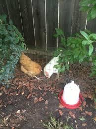 Chicken Backyard by Pictures Of My Brand New Chicken Tunnel Backyard Chickens