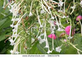 tobacco flower stock images royalty free images vectors