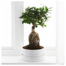 ficus microcarpa ginseng potted plant with pot bonsai assorted