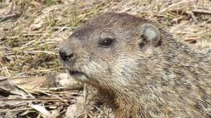 groundhog woodchuck england lexicon england today