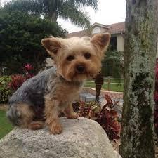 yorkie ears yorkshire terrier information center