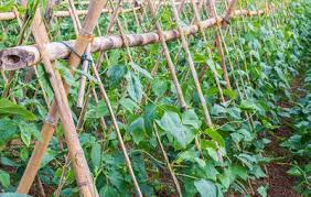 How To Grow Green Beans On A Trellis The Secrets To Growing A High Yield Vegetable Garden Rodale U0027s