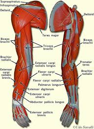 Anatomy Of The Right Arm Human Right Arm Muscle Diagram With Tendons Muscle Of The Arm