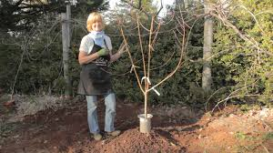 planting potted fruit u0026 nut trees organic gardening blog