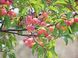 Fruit Tree Identification - 11 best tree identification images on pinterest tree