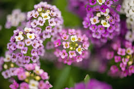Fragrant Flowers Top 10 Fragrant Flowers In India Scented Flowers Smelling Flowers
