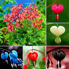 bleeding heart flower 100 pcs bonsai dicentra spectabilis seeds bleeding heart flower