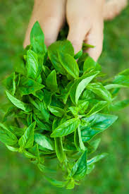 will basil die over winter u2013 what to do with basil at end of season