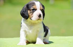 Make Bathtime Fun For Your Dog Beaglier Puppy Designer Dog Info