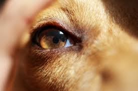 Blind Dog Eye Discharge Managing Eye Conditions In Dogs Symptoms Types Causes And
