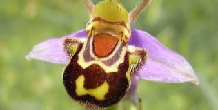 monkey orchid monkey orchid and 5 other amazing animal orchids featured creature