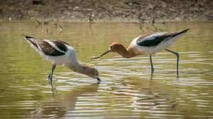 migrant water bird now a common sight the san diego union tribune